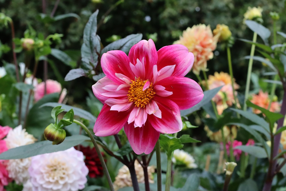 Dahlia 'Edith Jones' fra Halls of Heddon