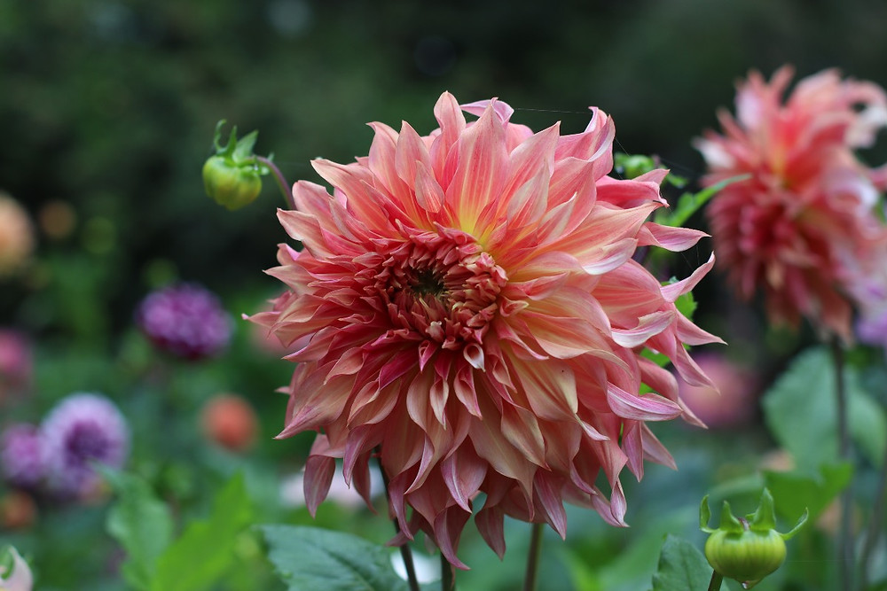 Dahlia 'Penhill Watermelon' fra Farmer Gracy