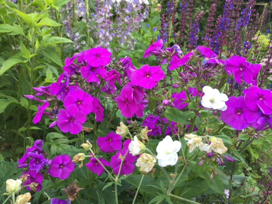 P. paniculata 'Violet Flame'
