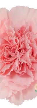 Doncel Flower.jpg