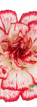 Minuetto Flower.jpg