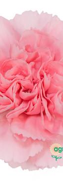 Euforia Flower.jpg