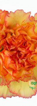 Boiro Flower.jpg