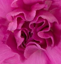 Lilac Melissa _ Flower