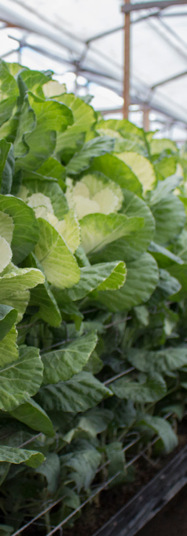 Kale Dream White 4.jpg