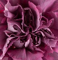 Hypnosis _ Flower