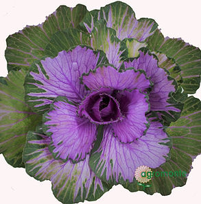 Kale Dream Red 1_edited.jpg