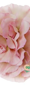 Mocha Sweet Flower.jpg