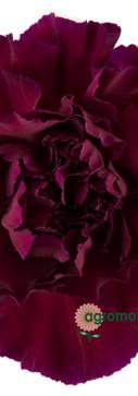 Zafiro Flower.jpg