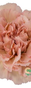 Lege Marrone Flower.jpg