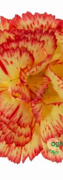 Rosita Flower .jpg