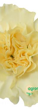 Creme Intermezzo Flower.jpg