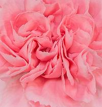 Euforia _ Flower