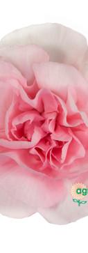 Ritomo Flower.jpg