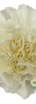 Diletta Crema Flower.jpg