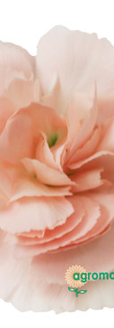 Hamada Flower.jpg