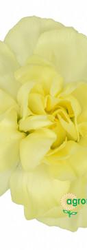 Xanthe Flower.jpg