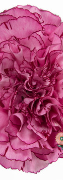 Amico Lavender Flower.jpg