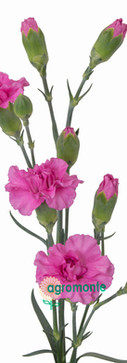 Lilac Melissa Stem.jpg