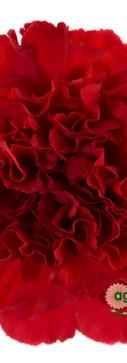 Don Pedro Flower.jpg