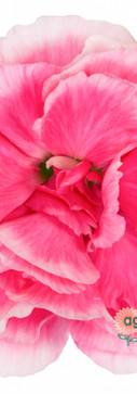 Cherry Tessino Flower.jpg