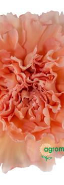 Peachy Mambo Flower.jpg