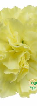 Timana Flower.jpg