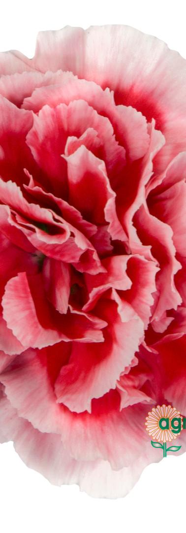 Scarlette Plus Flower.jpg