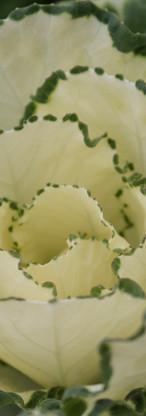 Kale Dream White 2.jpg