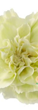 Brocoli Flower.jpg