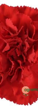 Dracula Flower.jpg