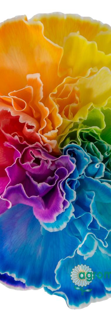 Tinted 1701 Rainbow Flower.jpg