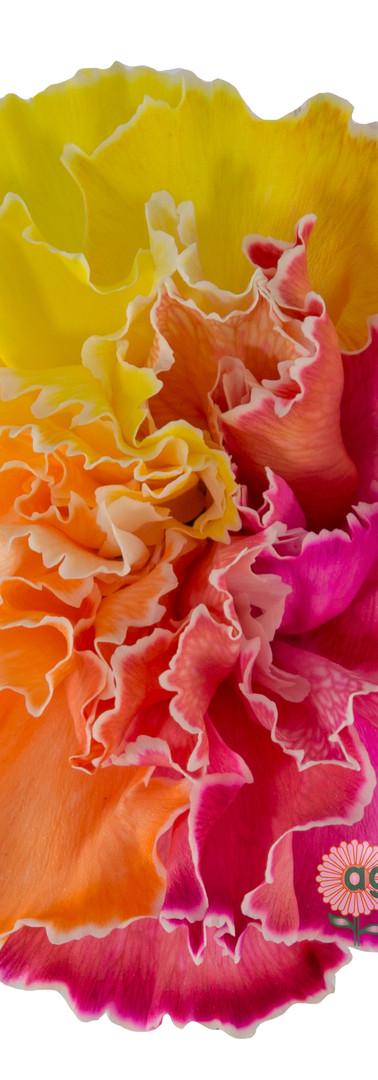 Tinted 1703 Rainbow Flower.jpg