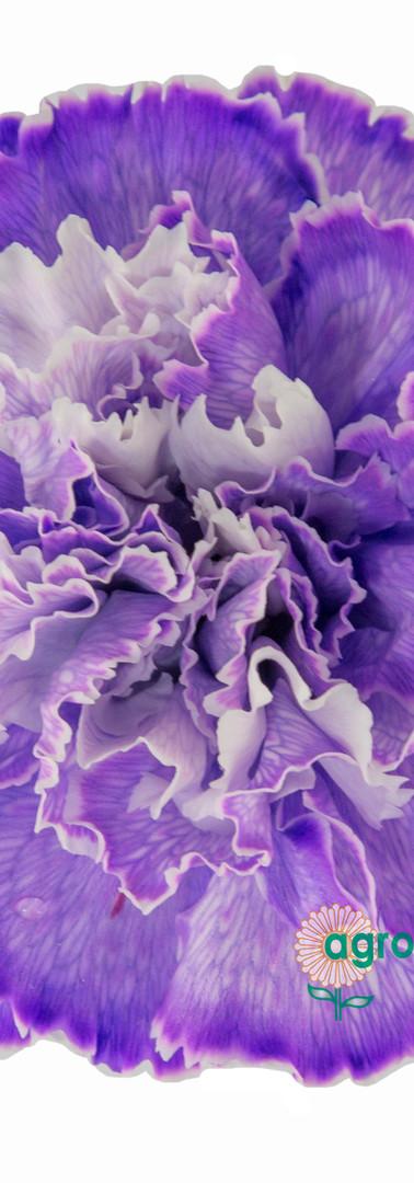 Tinted 1704 Lavender Flower.jpg