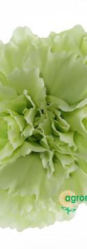Prado Mint Flower.jpg