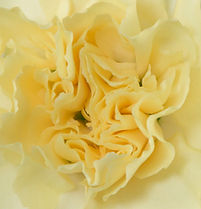 Creme Intermezzo _ Flower
