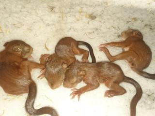 Sauvetage de bébés écureuils roux
