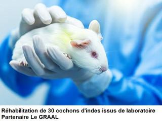 Prochainement sauvetage de 30 cochons d'inde issus de laboratoire
