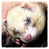 Weardale Ferret Welfare and Pet Products
