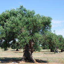 橄欖樹小組