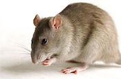 Rato, dedetização, pragas, abc,  Santo André, desratização