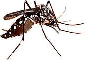 Aedes aegypti, mosquito da dengue, mosquito, dedetização, pragas, abc,  Santo André