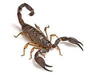 Escorpião, dedetização, pragas, abc,  Santo André
