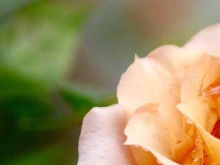 バラに恋してる・・