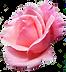 fleur-rose-png-7.png