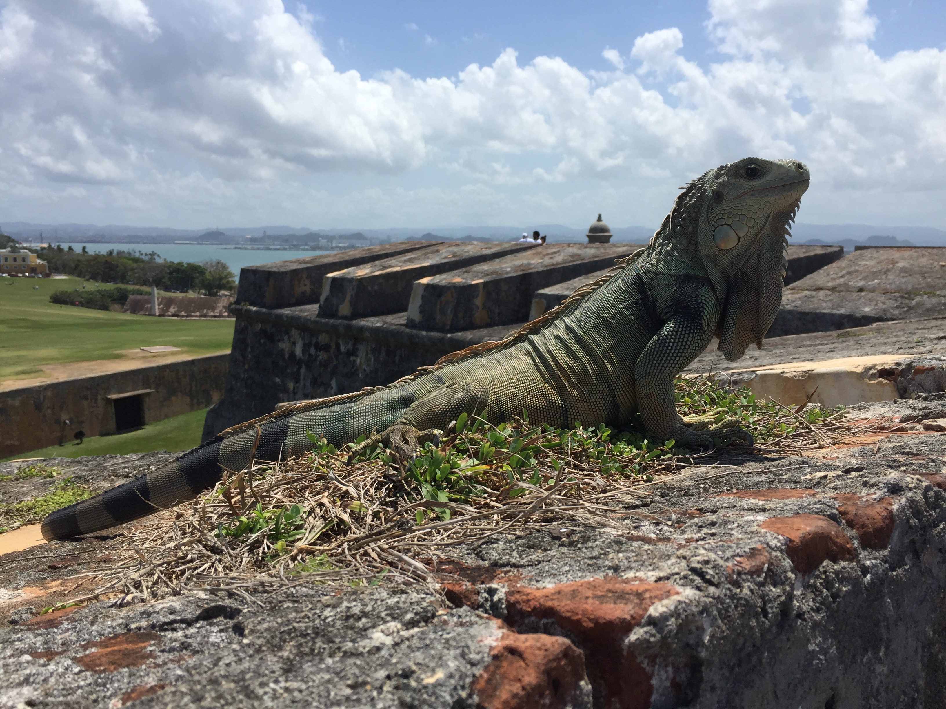 An Iguana at the Fort in San Juan