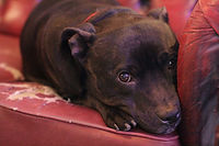 A black Staffordshire Bull Terrier