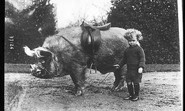 A black and white photo of a huge pig on a lead beign held by a child