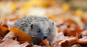 A hedgehog in some autumn leaves