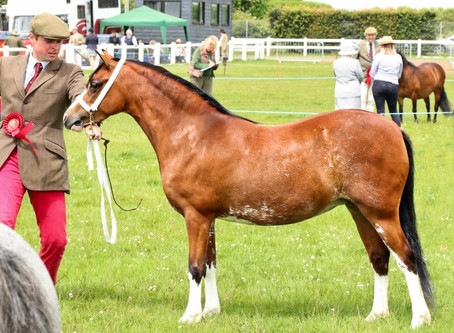 Native Pony Association Cornwall Show